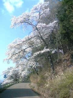 桜が見ごろです