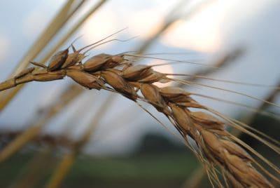 小麦を収穫しました