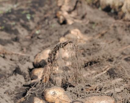 山芋を掘りました
