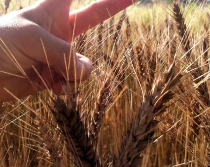 小麦を刈り取りました