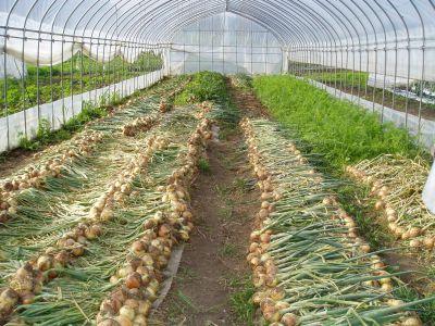 玉ねぎ収穫、夏野菜はもうじき
