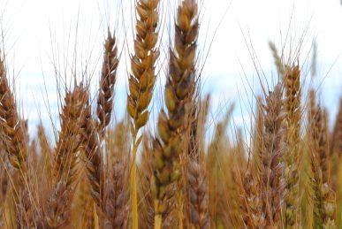 小麦の収穫、もうすぐ