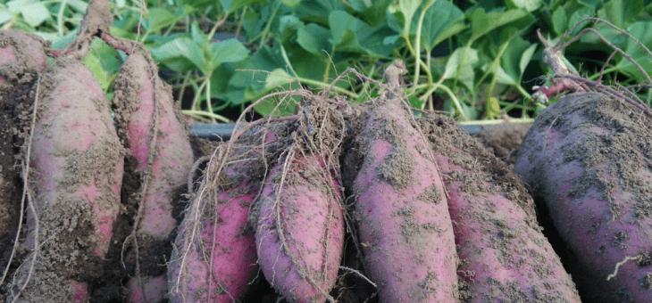 10月2日(金)お届けの野菜セット